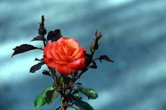 blommapinken steg Royaltyfri Fotografi
