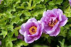 blommapion Royaltyfri Fotografi