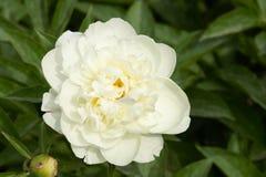 blommapion Royaltyfri Bild
