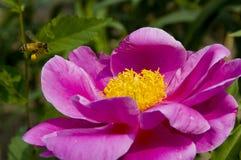 blommapion fotografering för bildbyråer