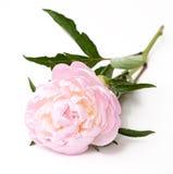 blommapionpink Royaltyfri Bild