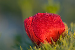 blommapionred Royaltyfri Bild