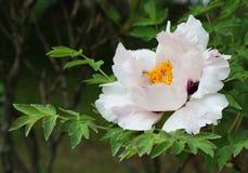 blommapiontree royaltyfri fotografi