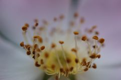 Blommapistill Arkivfoton