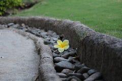 Blommaplumeria Royaltyfria Foton