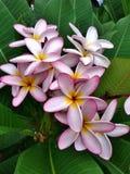 Blommaplumeria Arkivfoto