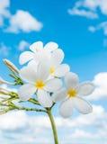 BlommaPlumeria som isoleras på himmelbakgrunden royaltyfria foton