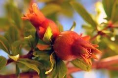 blommapomegranate Arkivbild