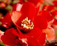 blommapomegranate Royaltyfria Bilder