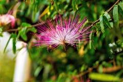Blommapompom, royaltyfria bilder