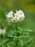 blommapotatis Royaltyfria Foton