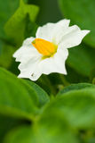 blommapotatis Arkivbild