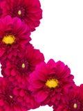 blommaprydnadpioner Royaltyfri Foto
