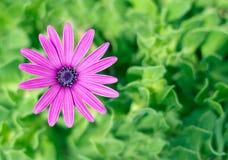 blommapurple Arkivfoton