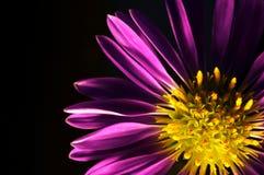 blommapurple Fotografering för Bildbyråer