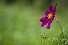 blommapurple Arkivbilder
