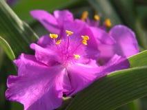 blommapurple Arkivbild