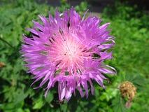 blommapurplethistle Royaltyfria Foton