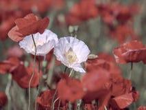 blommar ängvallmon Closeup av två blommor för vit vallmo royaltyfria bilder
