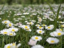 blommar ängwhite Royaltyfri Foto