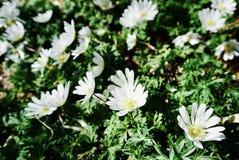 blommar ängwhite Arkivfoton