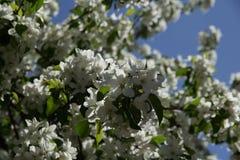 Blommar äpplet arkivfoton