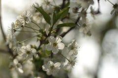 Blommar äpplet fotografering för bildbyråer