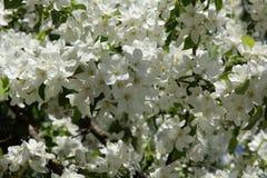 Blommar äpplet royaltyfri fotografi