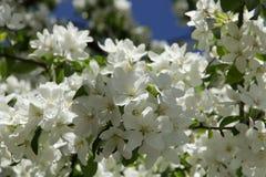 Blommar äpplet Arkivbilder