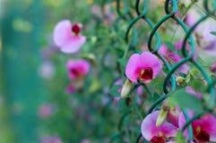 blommar ärtan Fotografering för Bildbyråer