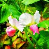 blommar ärtan sött fotografering för bildbyråer