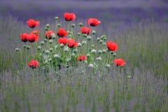 blommar övallmon royaltyfria bilder