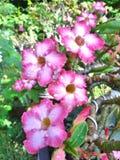 Blommar adeniumen Royaltyfria Bilder