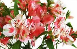 Blommar alstroemeria Arkivbild
