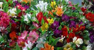Blommar alstroemeria Arkivfoto