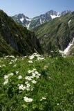 Blommar anemonen i de Kaukasus bergen Abchazien Royaltyfria Foton