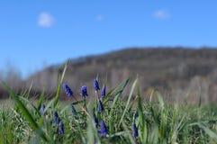 Blommar bergmuscarien Arkivbild