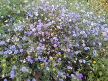Blommar blåklinter Royaltyfri Foto