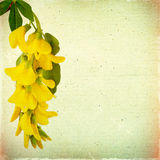 Blommar blom- bakgrund för tappning med den gula akacian på en brunt Royaltyfri Foto
