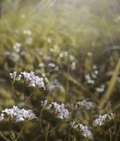 Blommar blom- härlig bakgrund för skogen Vita blommor blommar i en röjning i solskenet på solnedgången på en sommardag Arkivfoton
