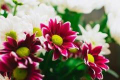 Blommar buketten av purpurfärgade och vita krysantemum Royaltyfria Foton