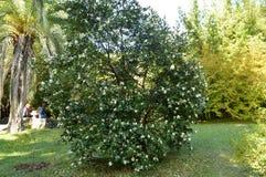 blommar buskewhite Arkivbild