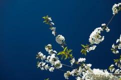 blommar Cherrytreen Royaltyfria Foton