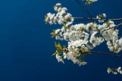 blommar Cherrytreen Royaltyfri Foto