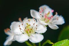 Blommar chokeberry Royaltyfri Foto