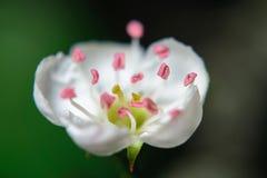 Blommar chokeberry Arkivfoton