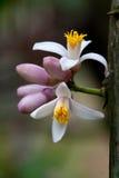 blommar citronen Arkivfoto