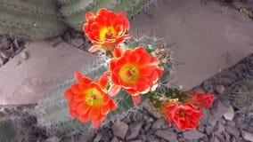 blommar clumy blomning för kaktus tillväxt som lilla nya sidor Fotografering för Bildbyråer