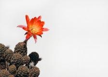 blommar clumy blomning för kaktus tillväxt som lilla nya sidor royaltyfri fotografi