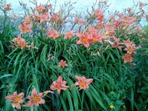 Blommar daylilies Arkivbild